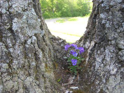 Violet-in-tree