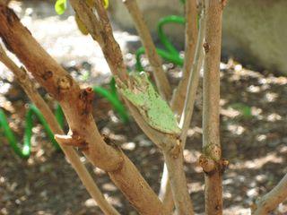 Mint-Frog